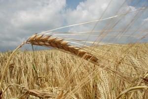 Svetu sad treba manje pšenice