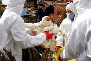 Ptičiji grip u Holandiji i Britaniji