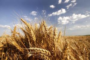 Nikad manje žita u Hrvatskoj