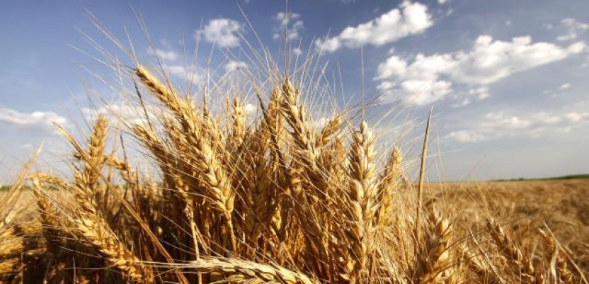 Zabeleženo prvo trgovanje ovogodišnjom pšenicom