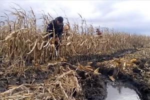 U Žitištu 350 hektara kukuruza pod vodom