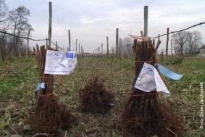 Nove sadnice za šabačke malinare