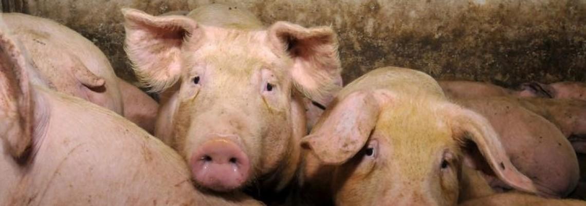 Cena otkupa svinja preniska