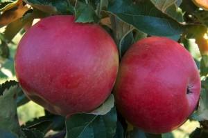 Dobra godina za podunavsko voće i grožđe