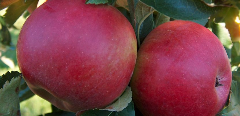 Očekuje se dobar rod jabuke i šljive