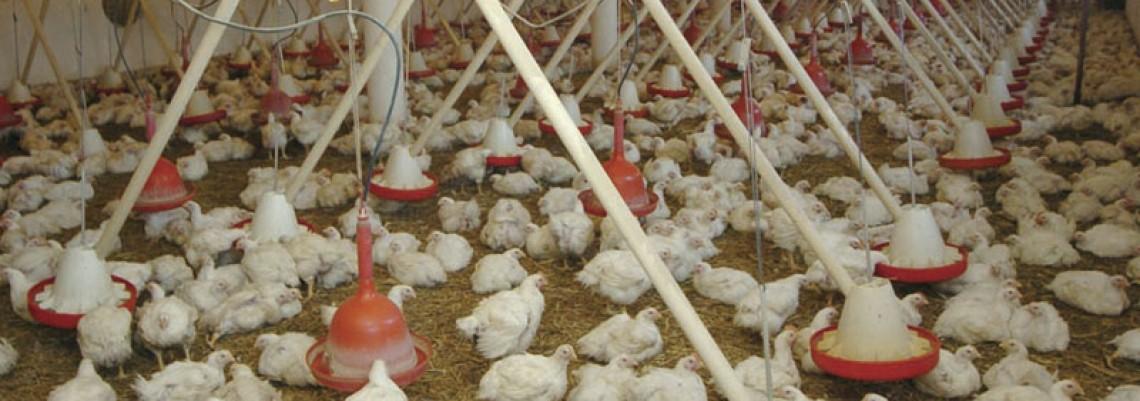 Naša piletina može u Emirate