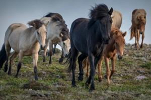 Divlji konji sa Suve planine odlaze u legendu?