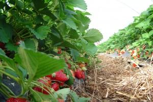 Može li jagoda da prestigne malinu u izvozu