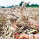 Prosečna poljoprivredna penzija 11.893 dinara