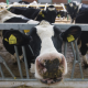HR: Samodovoljnost u proizvodnji mleka pala na tek 53 odsto