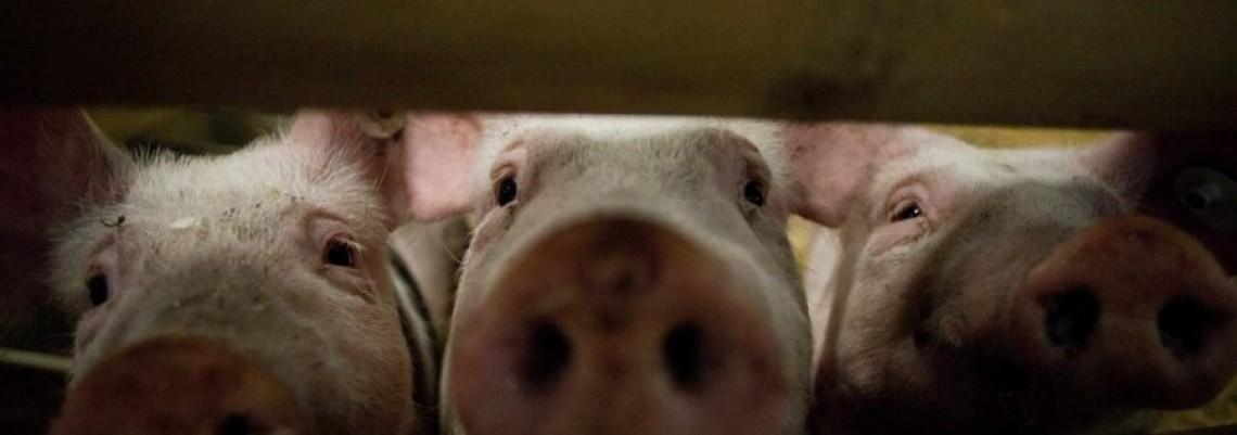 Vlada naložila otkup tovnih svinja