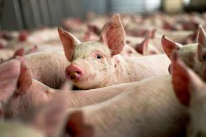 Kasni izvoz svinja u Kinu