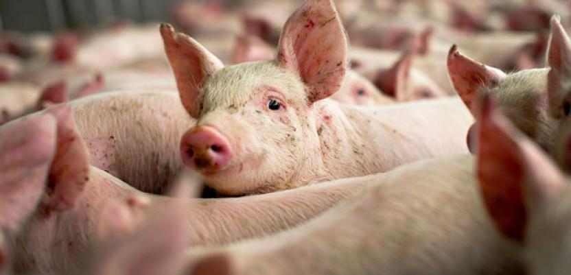 Manja prodaja svinja, jeftinije cene kilograma