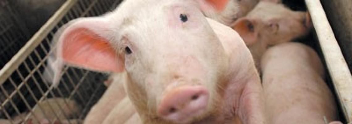 Srpsku svinju u EU niko neće da jede