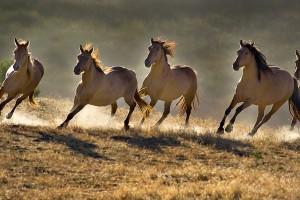 Divlji konji popravljaju biodiverzitet