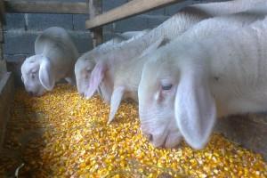 Srpska jagnjetina na tanjiru Kineza