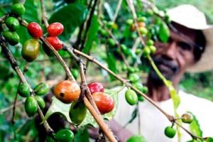 Kafa: Put od plantaža do šoljice