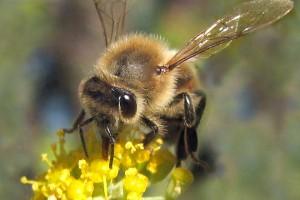 Pčele postaju zavisnice od pesticida