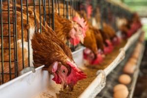 Živinarske farme da se prilagode standardima EU