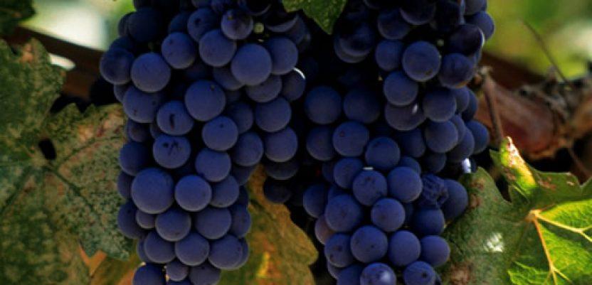 Šansa za zaradu u domaćim vinskim sortama