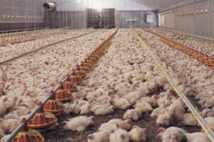 Živinarske farme po standardu EU
