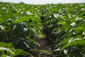 Nezadovoljavajuća cena soje demotiviše ratare