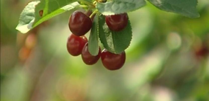 Knjaževačke voćare brine cena višnje
