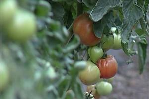 Obavezna zaštita povrća koje je oštetio grad