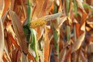 Kukuruz podbacio, ali će ga biti za izvoz