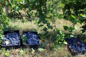 Grožđe kvalitetno, traže pola evra za kilogram