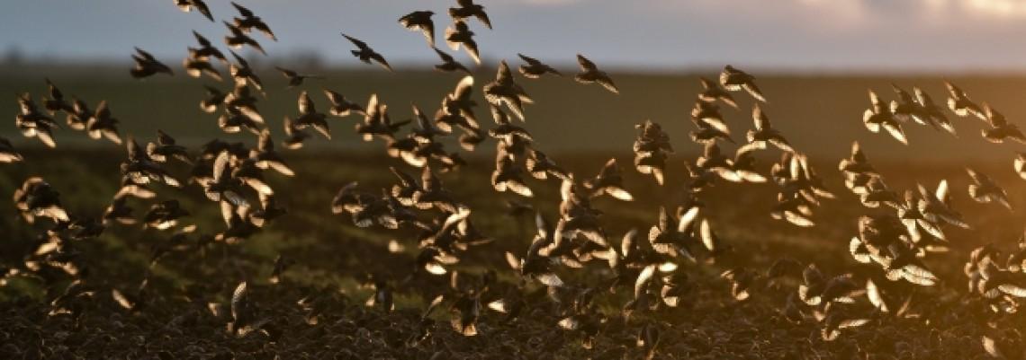 Krivolov ptica – Poražavajući podaci