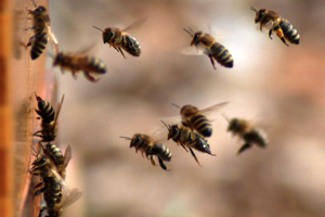Slovenački pčelari: Proglasiti pčele ugroženom vrstom