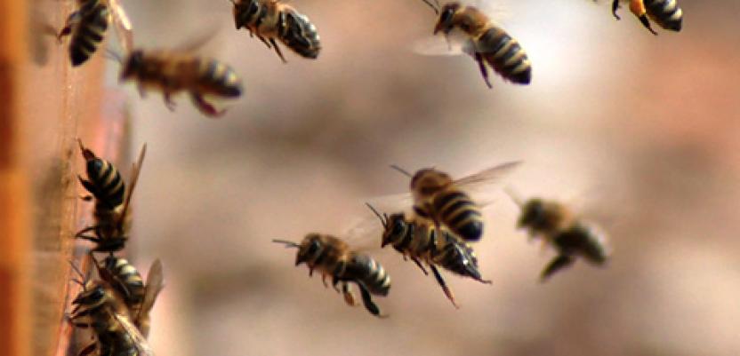 Pesticidi ubijaju i pčele i košnice