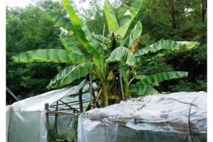 Ubrao prve banane sa sadnica iz Afrike