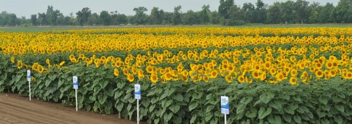 Svaki osmi suncokret posejan u svetu je novosadski