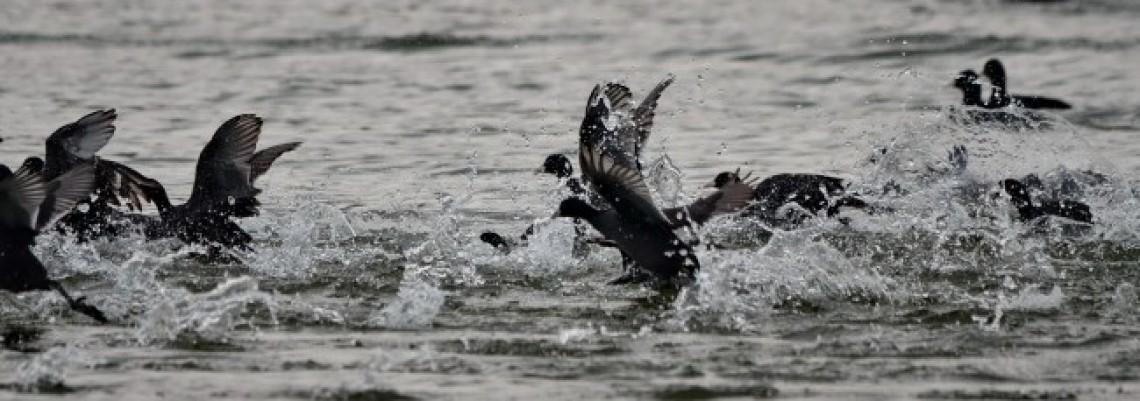 U vodenim staništima Srbije 200.000 ptica