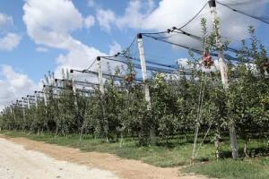 Jabuke i višnje sa ukusom ravnice