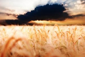 Kako će rekordan pad cene pšenice uticati na srpsku poljoprivredu?