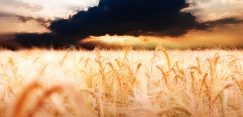 Otkupna cena pšenice će se znati kad država odobri novac za otkup