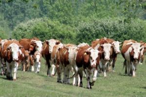 Povećane subvencije za govedarstvo
