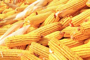 Rod kukuruza blizu rekorda iz 2016. godine