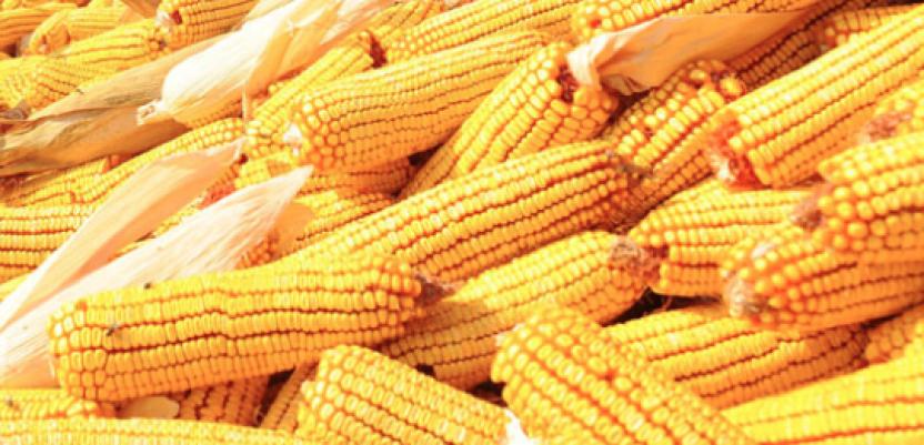 Povećana potražnja podigla cenu kukuruza