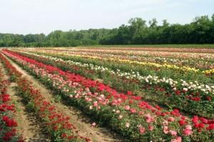 Srbija osma na svetu po izvozu ruža