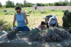 Povratak na selo: Uzgoj lavande dobar biznis