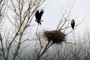 U Vojvodini preživela samo dva para orlova, čuvaće ih volonteri