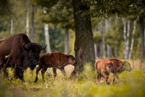 Drvoseče ušle u poslednju evropsku prašumu