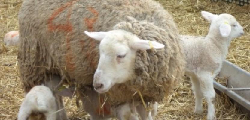 Biznis ideja: Ovca koja daje i do 900 litara