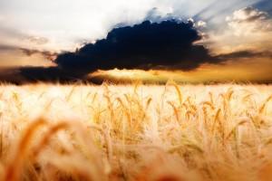 Cena pšenice pala na 14 dinara