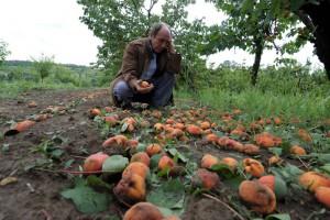 Nevreme obralo trećinu srpskih voćnjaka