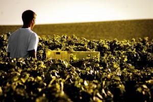 Proizvođači šampanjca se pripremaju za klimatske promene